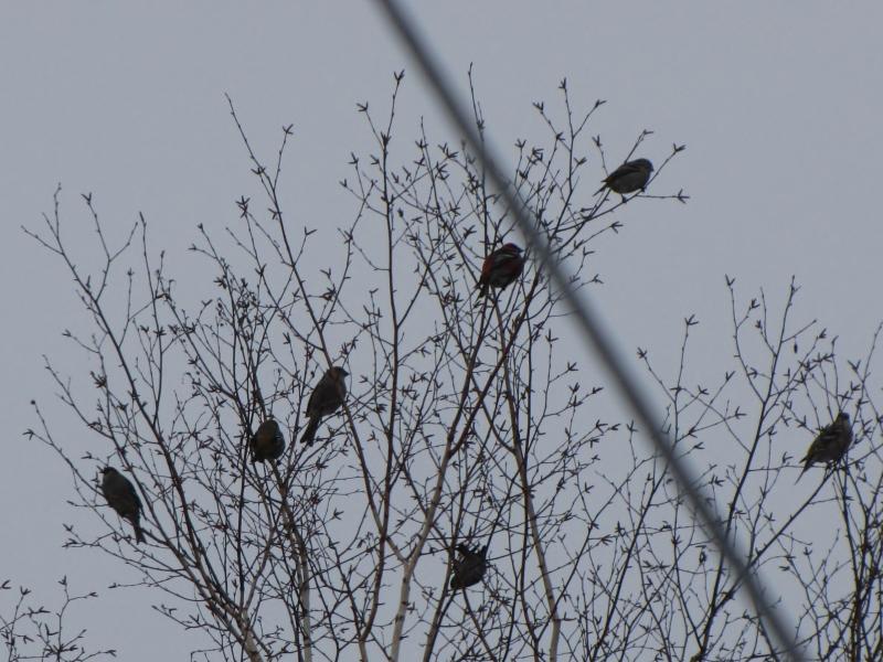 Mes oiseaux  hiver  2012 - 2013 IMG_5086