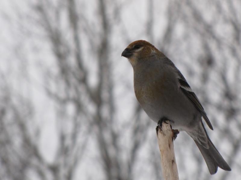 Mes oiseaux  hiver  2012 - 2013 IMG_5098