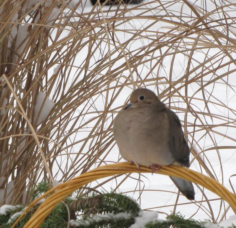 Mes oiseaux  hiver  2012 - 2013 IMG_5104