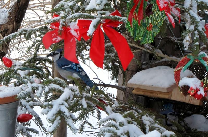 Mes oiseaux  hiver  2012 - 2013 IMG_5160