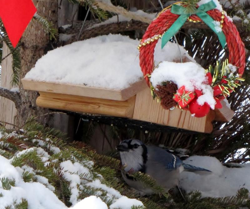 Mes oiseaux  hiver  2012 - 2013 IMG_5161