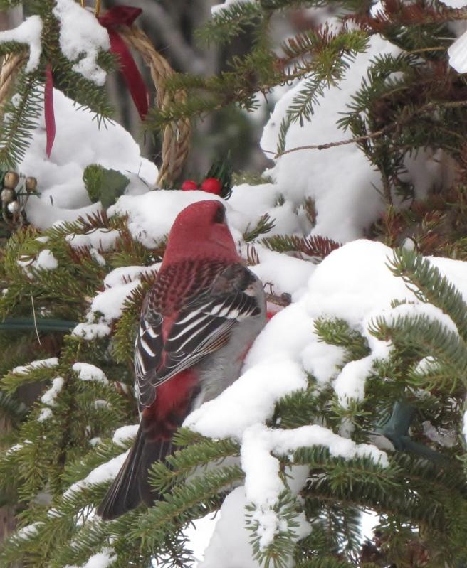 Mes oiseaux  hiver  2012 - 2013 IMG_5168
