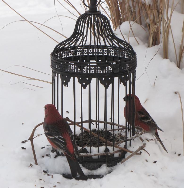 Mes oiseaux  hiver  2012 - 2013 IMG_5191