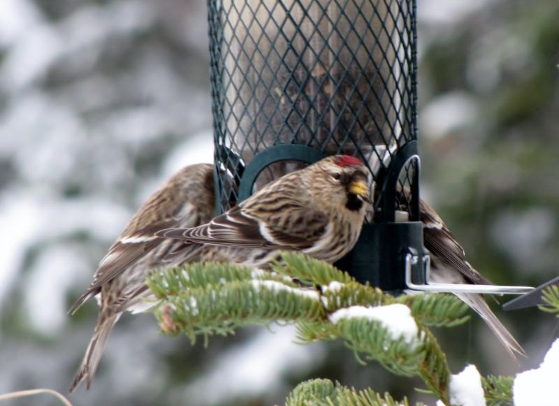 Mes oiseaux  hiver  2012 - 2013 IMG_5202