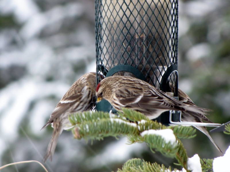 Mes oiseaux  hiver  2012 - 2013 IMG_5203