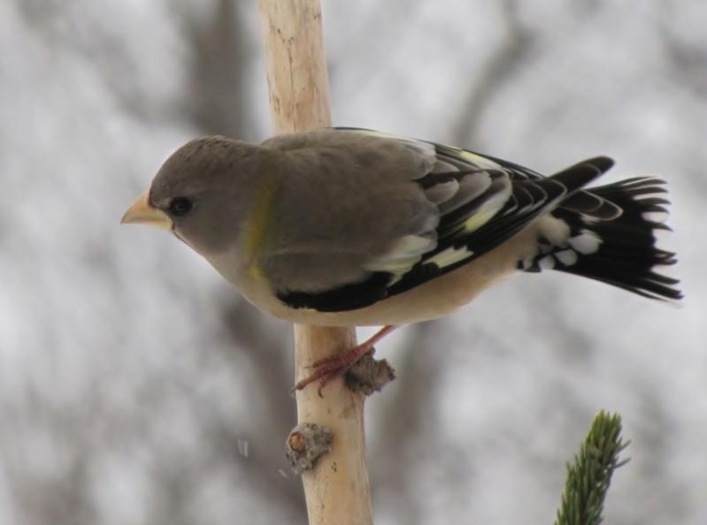 Mes oiseaux  hiver  2012 - 2013 IMG_5223