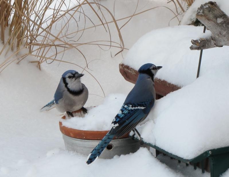 Mes oiseaux  hiver  2012 - 2013 IMG_5540