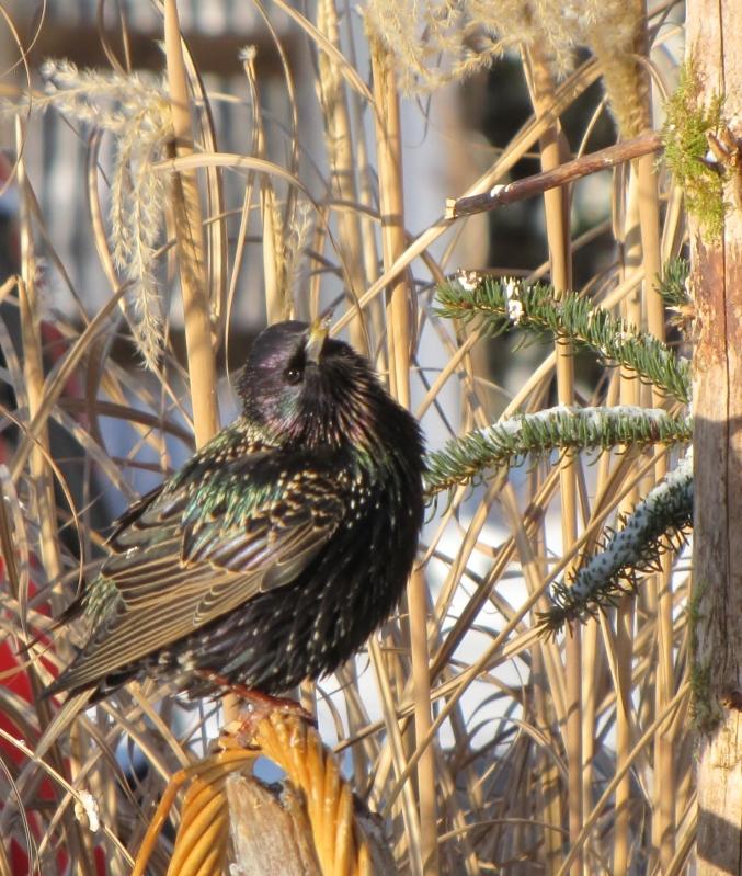 Mes oiseaux  hiver  2012 - 2013 IMG_5585