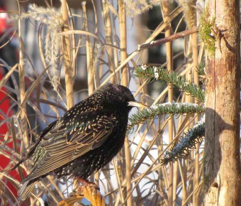 Mes oiseaux  hiver  2012 - 2013 IMG_5586