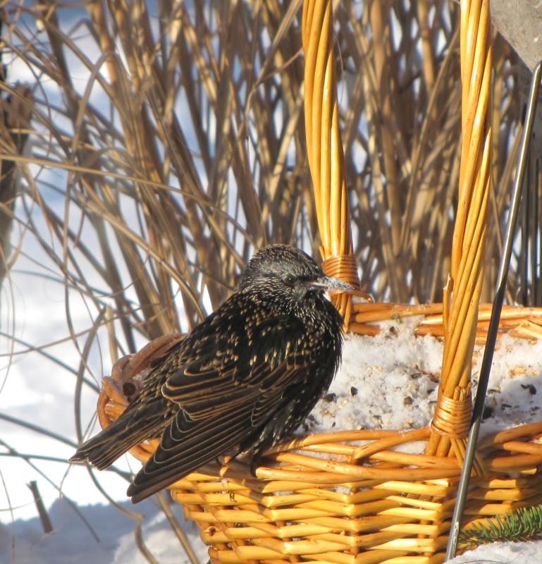Mes oiseaux  hiver  2012 - 2013 IMG_5588