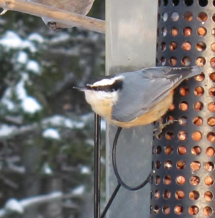 Mes oiseaux  hiver  2012 - 2013 IMG_5645