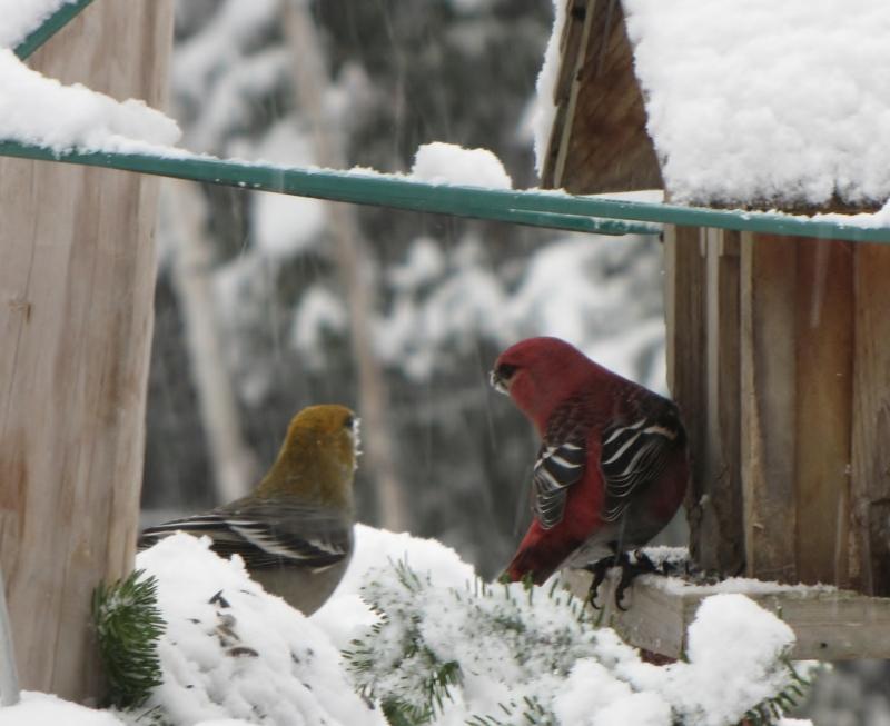 Nouveau décor pour les oiseaux IMG_7624