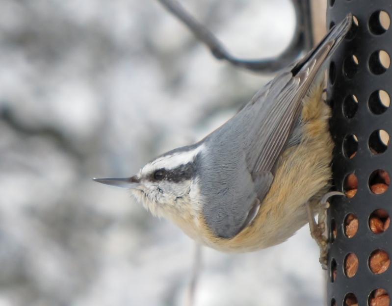 Nouveau décor pour les oiseaux Sitellepoitrinerousse