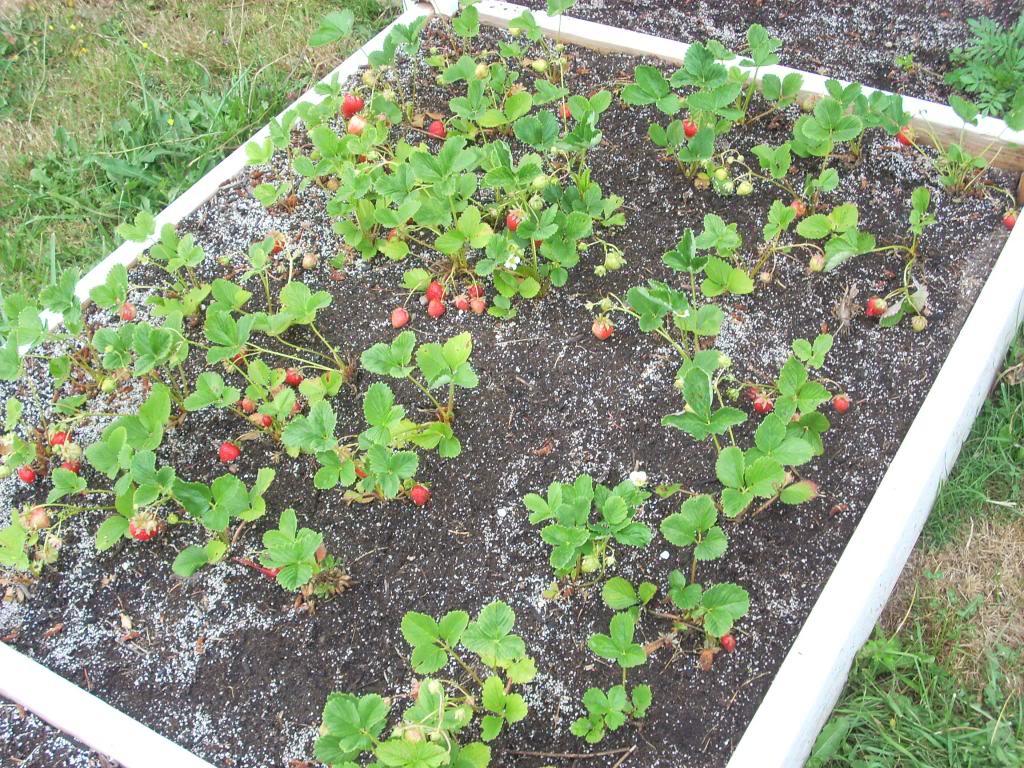 2,000 Sq. Foot Garden Need Plant Ideas - Page 3 DSCN1522_zpsb092d271