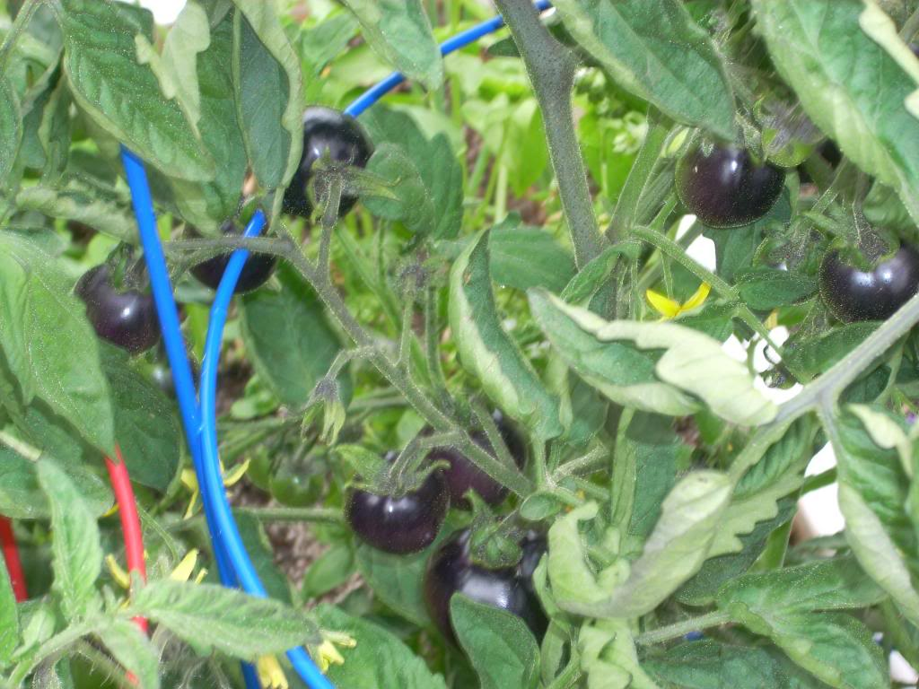 2,000 Sq. Foot Garden Need Plant Ideas - Page 3 DSCN1524_zpsdb33fab1