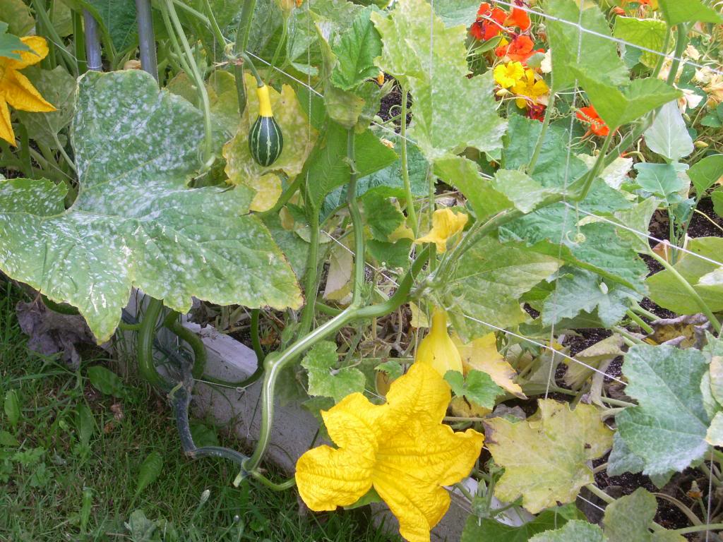 2,000 Sq. Foot Garden Need Plant Ideas - Page 3 DSCN1528_zpsa38f6195