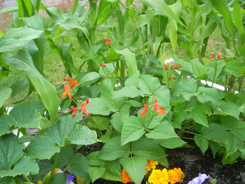 2,000 Sq. Foot Garden Need Plant Ideas - Page 3 DSCN1531_zpse94ff72d