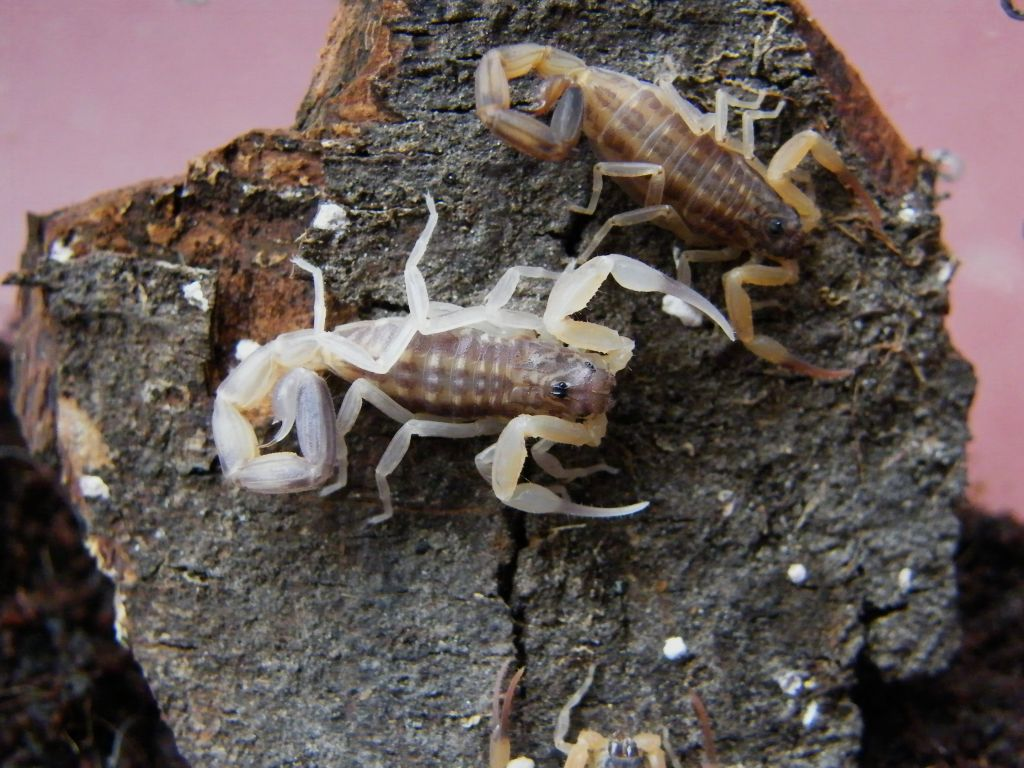 Who molted today? (Scorpion molting pics) - Page 2 DSCF1185_zpsa4be570c