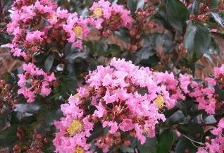 Coral Majic Crape Myrtle cuttings  Cor_zpsfti030qz
