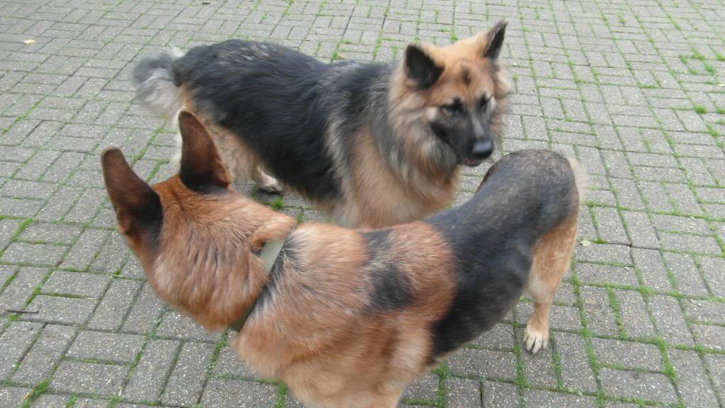 Caesar 6 year old; black and tan male homed CaeserandCloe002_zps4092cf72