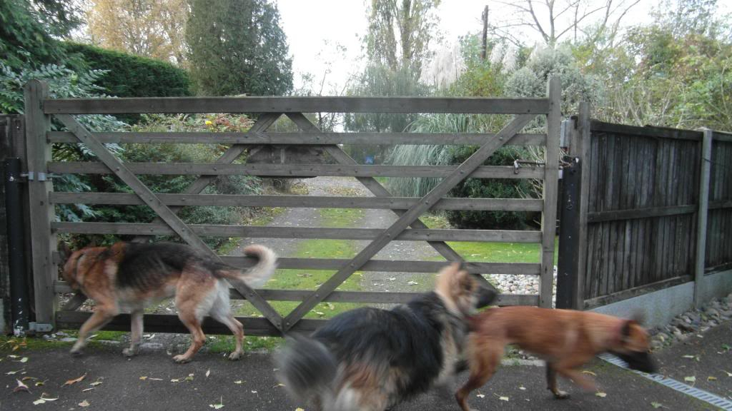 Caesar 6 year old; black and tan male homed CaeserandCloe002_zpsb4f6e460