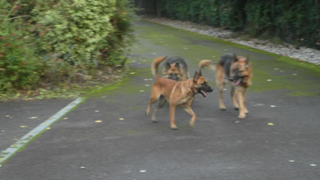 Caesar 6 year old; black and tan male homed CaeserandCloe003_zpsc95c03a7