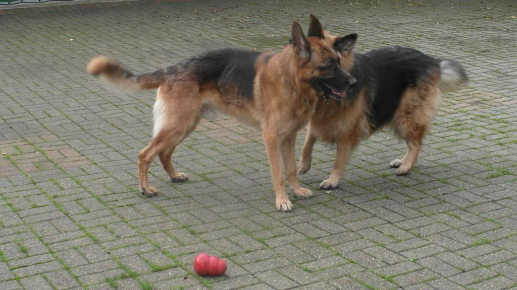 Caesar 6 year old; black and tan male homed CaeserandCloe004_zpsf73663e0