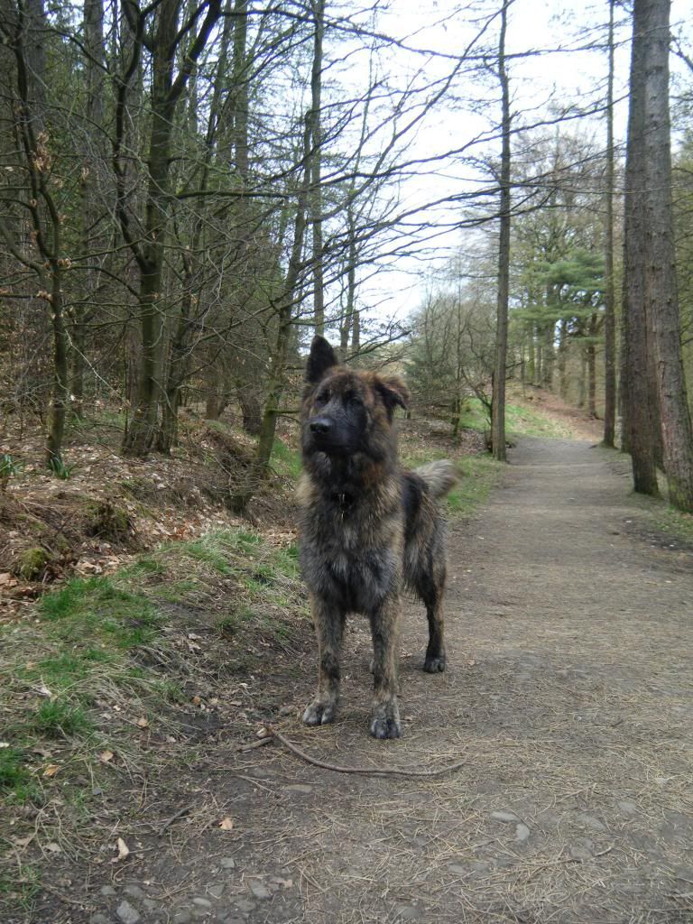 URGENT home needed for loving GSD Shadow DSCF02262_zps166bc886