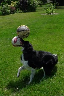 Fun Dog Pictures / Jokes ...  Funnyphoto-colliebalancing2balls_zps47bb763d