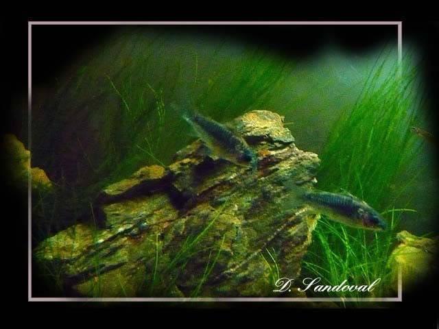 les poissons de barqueros Corys