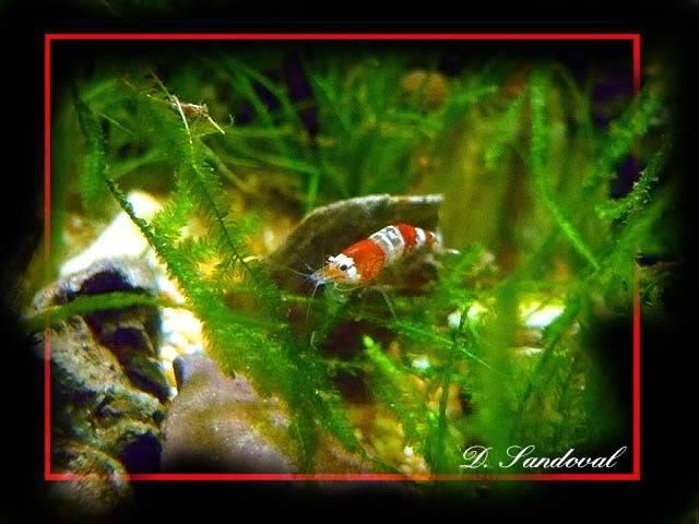 les poissons de barqueros Redcristal