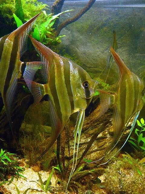 Pterophyllum Altum Untitled-3-10