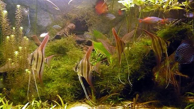 Pterophyllum Altum Untitled-145