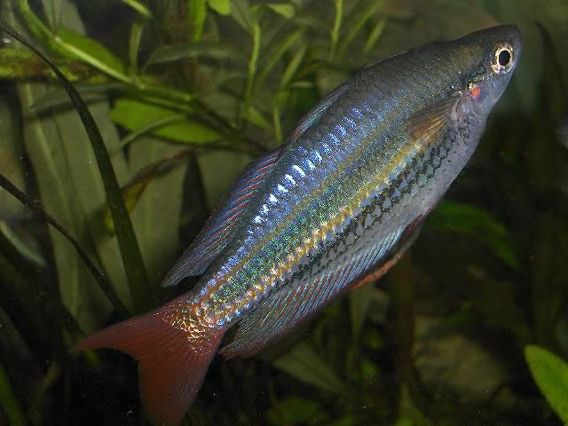 les poissons de barqueros Melanoteniasplendidaaustralis