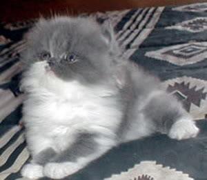 صور لمحبي القطط000 Figaro2