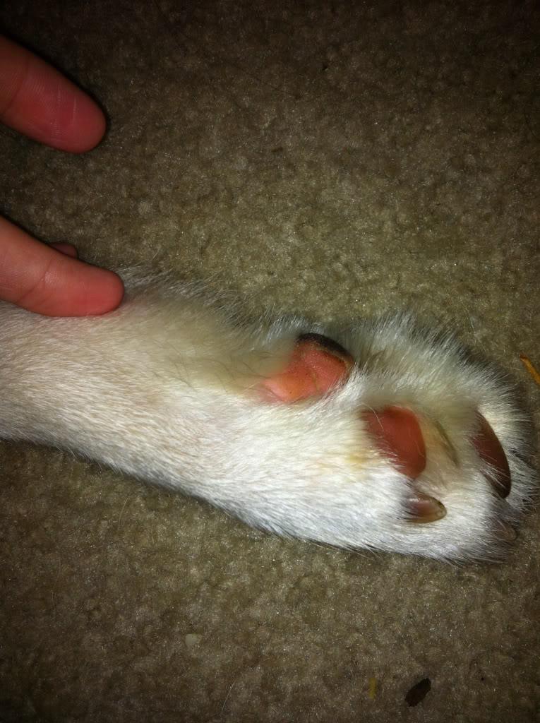 Demodicosis in Dogs 28071db1a7114c83b9df0313ba65af46_zps83261a70