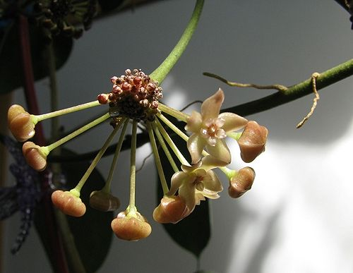 Hoya macrophylla  040914_zps1c49ec21