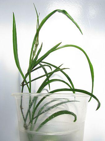Hoya acicularis 1610_zps43eecd0d