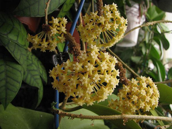 Hoya surigaoensis EG00897 1611_zpse06c25aa