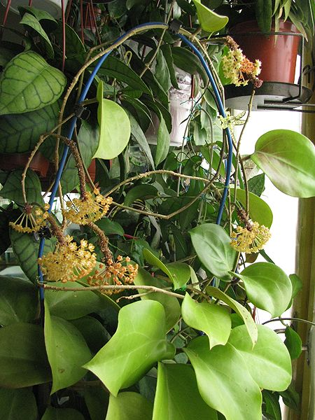 Hoya surigaoensis EG00897 1811_zps716b1d85