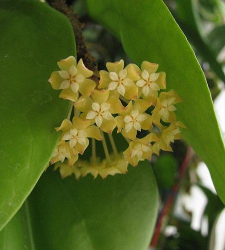 Hoya surigaoensis EG00897 18_zpsda2bc363
