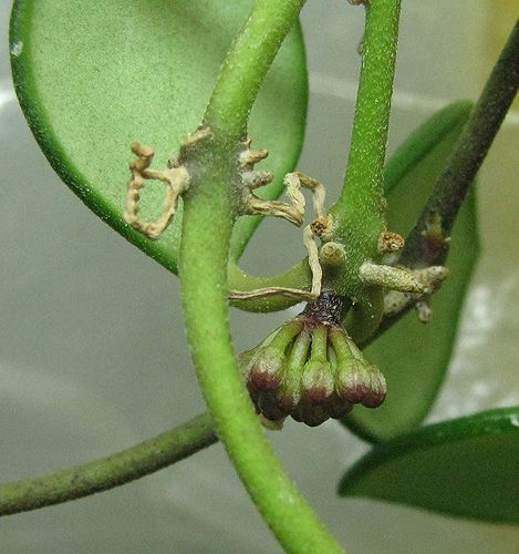 Hoya carmelae NS 05-244 24.02.15.1_zpsydyca8cy