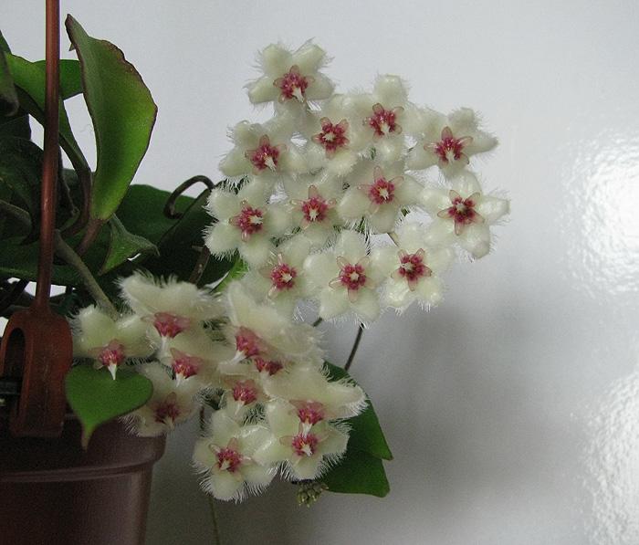 Hoya soidaoensis 2400000_zps43e6e148