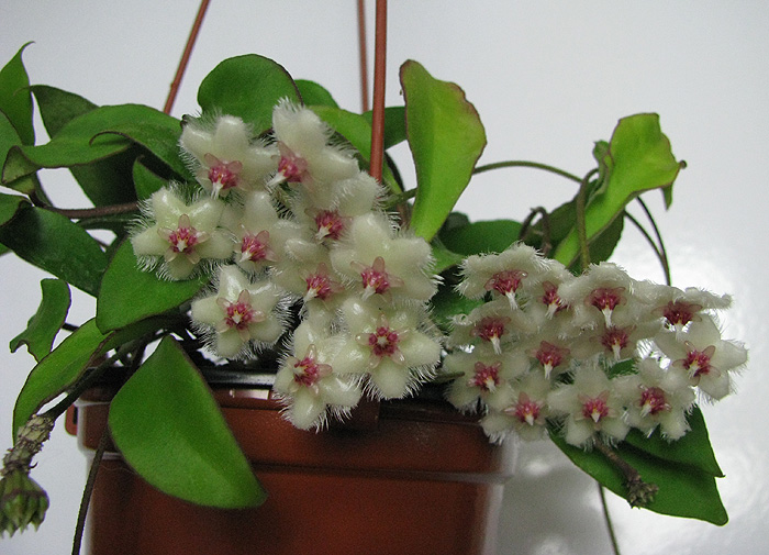 Hoya soidaoensis 4-000_zps1b2b572a