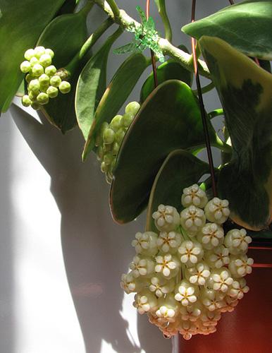 Hoya pachyclada IMG_0016-----_zps8o7ng9sk