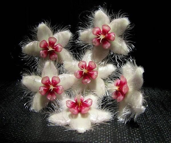 EPC-662 Hoya caudata Dark smaller leaves Long-hairy flowers with flat shape corona IMG_1684_zpsxbxm1ubi