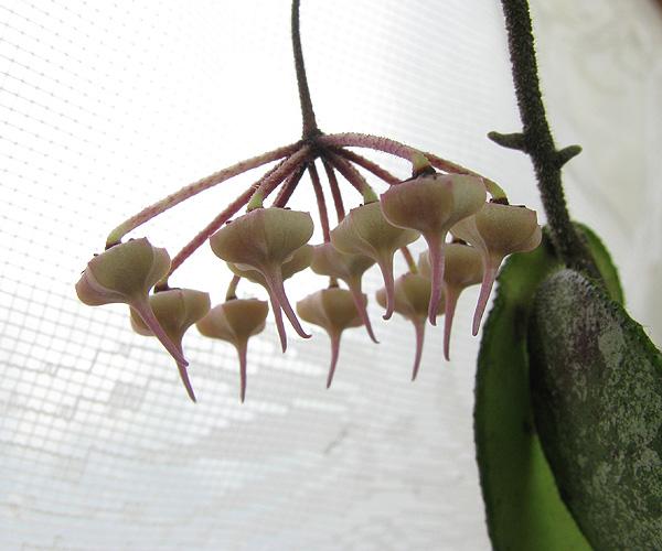 Hoya aff.flagellata big leaves from South Thailand IMG_1859---_zpsxzejrc8z