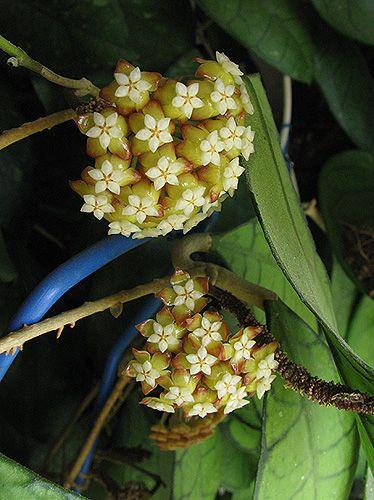 Hoya callistophylla Red IMG_2303_zpsbpg2pyjh
