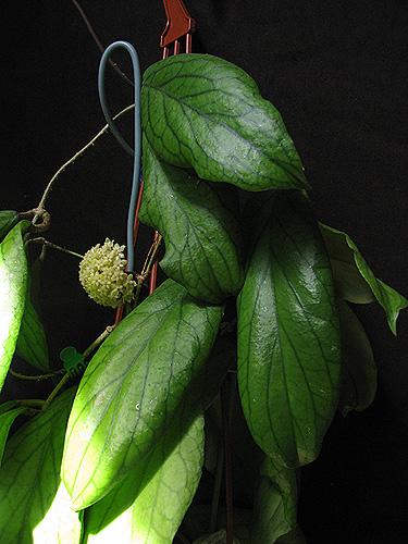 Hoya sp.Kast  IMG_2704_zpshxfm5flo