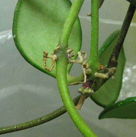 Hoya carmelae NS 05-244 IMG_7975_zpsc95daebb